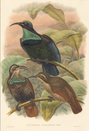 Ptilorhis Paradisea. A Monograph of ther Paradiseidae or Bower-Birds.