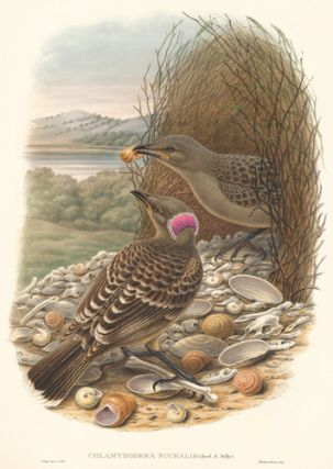Chlamydodera Nuchalis. A Monograph of ther Paradiseidae or Bower-Birds. Richard Bowdler Sharpe