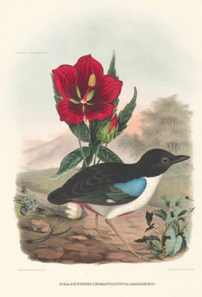 Brachyurus (Gigantipitta) Maximus. A Monograph of the Pittidae, or Family of Ant-Thrushes. Daniel Giraud Elliot.