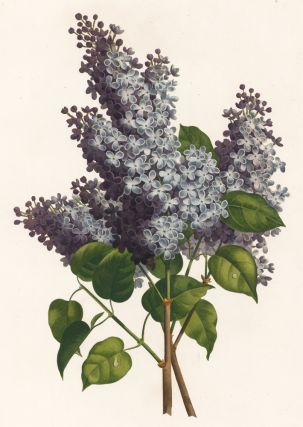 Lilas. Jean Louis Prevost, after.