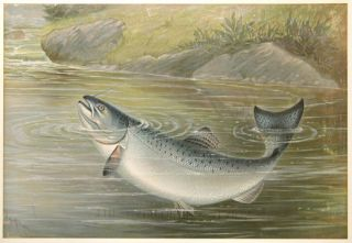California Salmon. Game Fishes of the United States. S. A. Kilbourne.