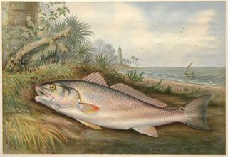 Red Fish. Game Fishes of the United States. S. A. Kilbourne