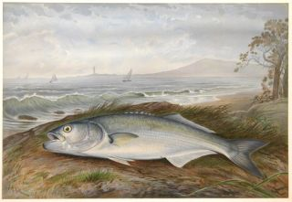 Blue Fish. Game Fishes of the United States. S. A. Kilbourne