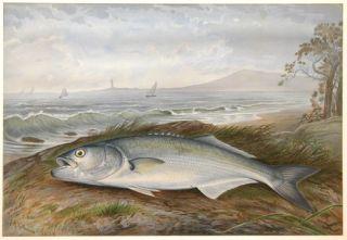Blue Fish. Game Fishes of the United States.