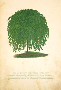 Kilmarnock Weeping Willow. American School