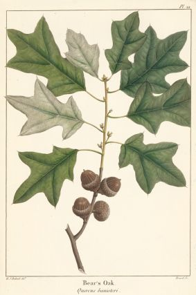 Bear's Oak. F. A. Michaux