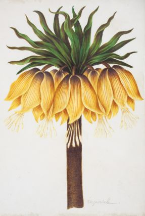 Fritillaria Imperiale. Nicolas Robert, or School of
