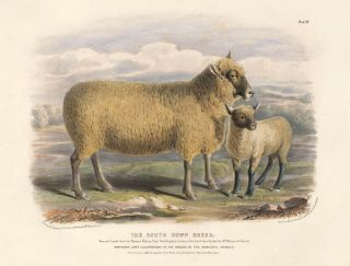 The South Down Breed. The Breeds of the Domestic Animals of the British Islands. David Low