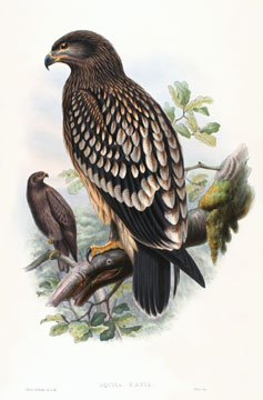 Aquila Naevia [Spotted Eagle]. The Birds of Great Britain. John Gould.