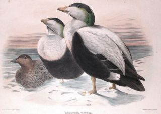 The New and Heretofore Unfigured Species of the Birds of North America. Daniel Giraud Elliot