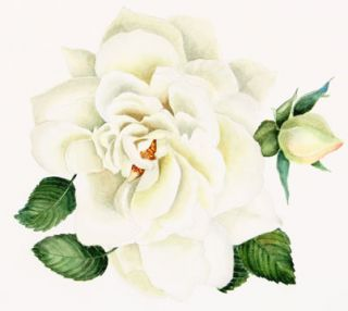 White Rose. Christina/ Davis