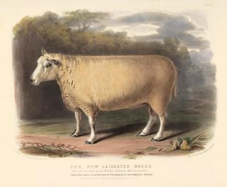The New Leicester Breed. The Breeds of the Domestic Animals of the British Islands. David Low