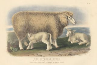 The Cotswold Breed. The Breeds of the Domestic Animals of the British Islands. David Low
