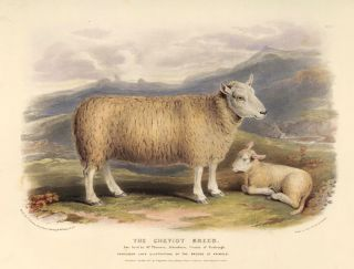The Cheviot Breed. The Breeds of the Domestic Animals of the British Islands. David Low, W....