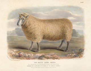 The South Down Breed. The Breeds of the Domestic Animals of the British Islands. David Low, W....