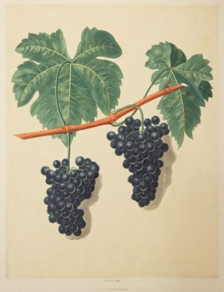 Grapes. Pomona Britannica. George Brookshaw