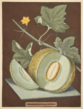 Green flesh or Candia melon. Pomona Britannica. George Brookshaw