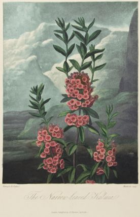 The Narrow-leaved Kalmia. Temple of Flora. Dr. Robert Thornton