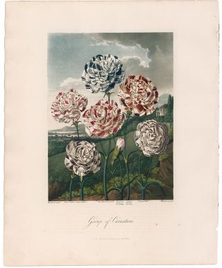 Group of Carnations. Temple of Flora. Dr. Robert Thornton