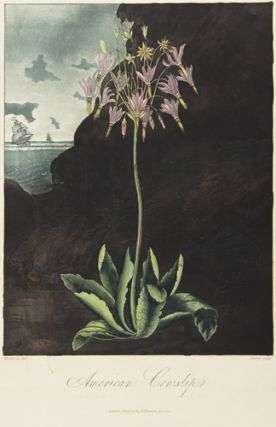 American Cowslip. Temple of Flora. Dr. Robert Thornton