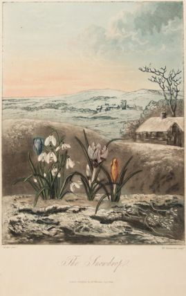 The Snowdrop. Temple of Flora. Dr. Robert Thornton