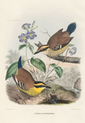 Pitta Schwaneri. A Monograph of the Pittidae, or, Family of Ant-Thrushes.