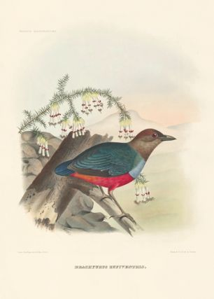 Brachyurus Rufiventris. A Monograph of the Pittidae, or, Family of Ant-Thrushes. Daniel Giraud...