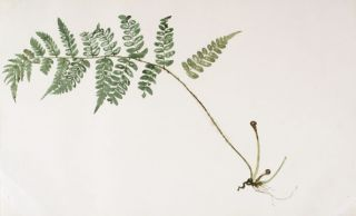 Fern. Japanese School