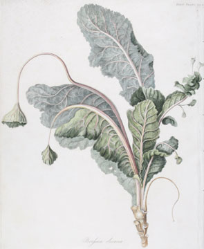Brassica Oleracea [Wild Mustard]. English School, Royal Horticultural Society