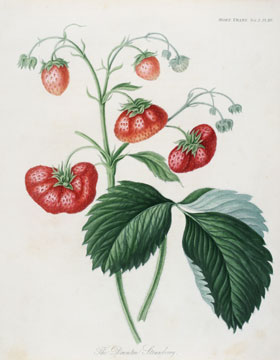 The Downton Strawberry. English School, Royal Horticultural Society