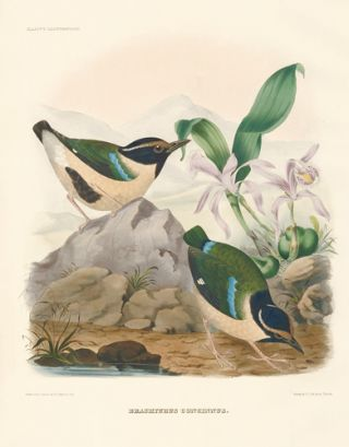 Brachyurus Concinnus. A Monograph of the Pittidae, or, Family of Ant-Thrushes. Daniel Giraud Elliot