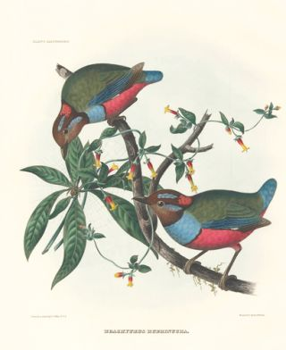 Brachyurus Rubrinucha. A Monograph of the Pittidae, or, Family of Ant-Thrushes. Daniel Giraud Elliot