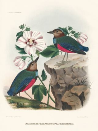 Brachyurus (Erythropitta) Celebensis. A Monograph of the Pittidae, or, Family of Ant-Thrushes. Daniel Giraud Elliot.