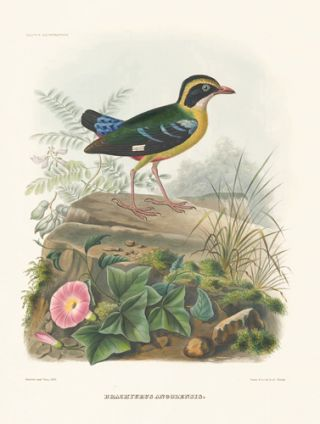 Brachyurus Angolensis. A Monograph of the Pittidae, or, Family of Ant-Thrushes.