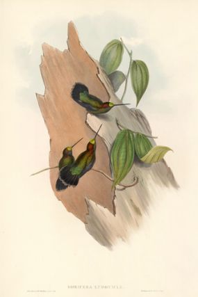 Dorifera Ludoviciæ. A Monograph of the Trochilidae, or Family of Hummingbirds. John Gould,...