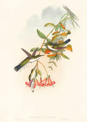 Heliothryx Auritus. A Monograph of the Trochilidae, or Family of Hummingbirds. John Gould,...
