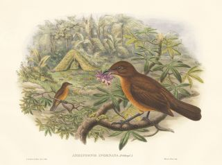 Amblyornis Inornata. A Monograph of the Paradiseidæ or Birds of Paradise, and Ptilonorhynchidæ,...