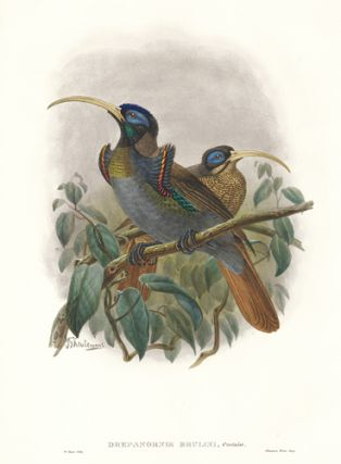 Drepanornis Bruijni. A Monograph of the Paradiseidæ or Birds of Paradise, and Ptilonorhynchidæ, or Bower-Birds. John Gould, Richard Bowdler Sharpe.