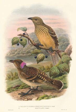 Chlamydodera Cerviniventris and Chlamydodera Maculata. A Monograph of the Paradiseidæ or Birds...