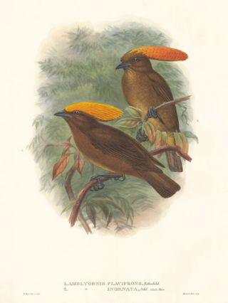 Amblyornis Flavifrons and Amblyornis Inornata. A Monograph of the Paradiseidæ or Birds of Paradise, and Ptilonorhynchidæ, or Bower-Birds. John Gould, Richard Bowdler Sharpe.