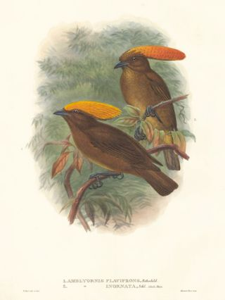 Amblyornis Flavifrons and Amblyornis Inornata. A Monograph of the Paradiseidæ or Birds of Paradise, and Ptilonorhynchidæ, or Bower-Birds.