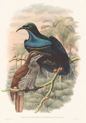 Craspedophora Intercedens. A Monograph of the Paradiseidæ or Birds of Paradise, and Ptilonorhynchidæ, or Bower-Birds. John Gould, Richard Bowdler Sharpe.