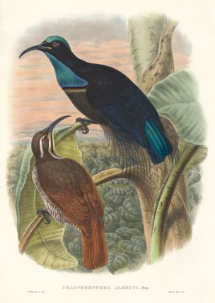 Craspedophora Alberti. A Monograph of the Paradiseidæ or Birds of Paradise, and Ptilonorhynchidæ, or Bower-Birds. John Gould, Richard Bowdler Sharpe.
