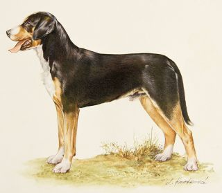 Great Swiss Mountain Dog. Jaromir Knotek