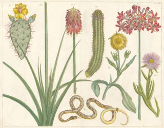 Cacti [Indian fig opuntia, prickly pear] and snake. Locupletissimi rerum naturalium thesauri...