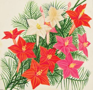 Cypress Vine (Mixed Colors). American School