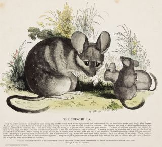 The Chinchilla. Plates Illustrative of Natural History. Josiah Wood Whymper