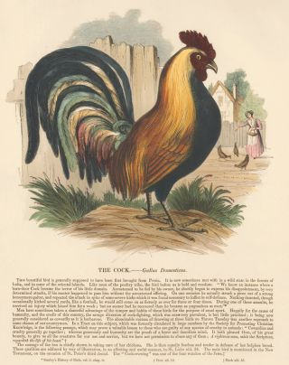 The Cock. Plates Illustrative of Natural History. Josiah Wood Whymper