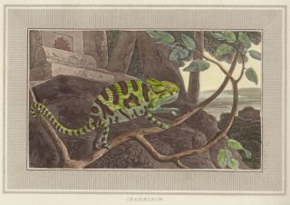 Chamaeleon. Interesting Selections from Animated Nature. William Daniell