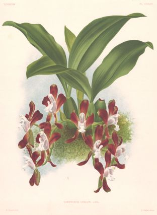 Batemannia Colleyi. Lindenia iconographie des Orchidees. Jean Jules Linden